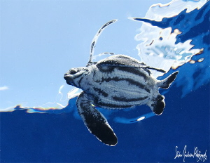Baby Leatherback Sea Turtle released to the sea, it's a  ... by Steven Anderson 